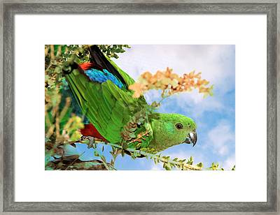 Female King Parrot Framed Print