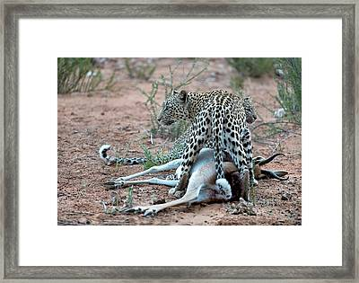 Female Leopard & Cub With Springbok Prey Framed Print by Tony Camacho