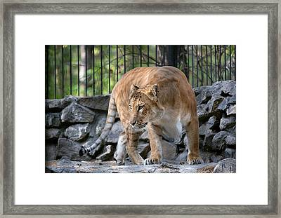 Female Liger In A Zoo Framed Print by Science Photo Library