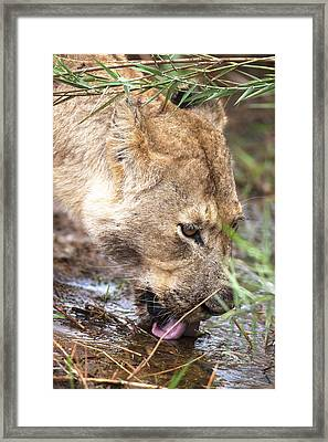 Female Lion Drinking Framed Print by Sean McSweeney