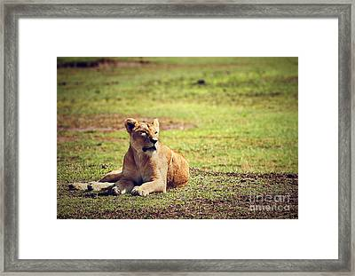 Female Lion Lying. Ngorongoro In Tanzania Framed Print by Michal Bednarek