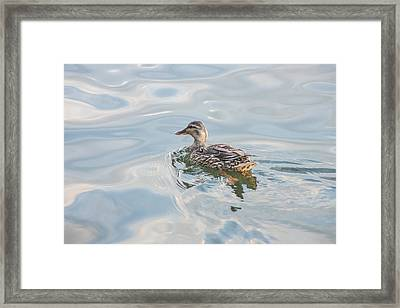 Female Mallard Duck On A Glassy Lake Framed Print