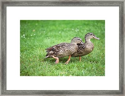 Female Mallard Duck Rivalry Framed Print by Simon Booth