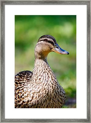 Female Mallard Portrait Framed Print by Crystal Wightman