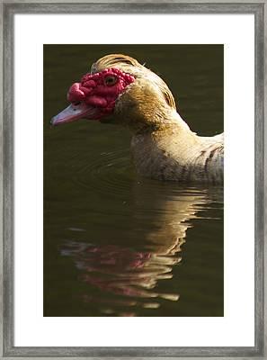 Female Muscovy Duck Framed Print by Allan Morrison
