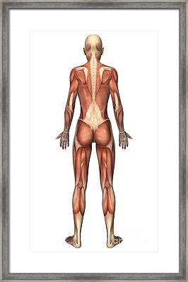 Female Muscular System, Back View Framed Print by Stocktrek Images
