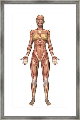 Female Muscular System, Front View Framed Print by Stocktrek Images