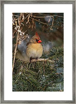 Female Norther Cardinal Framed Print
