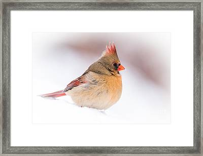 Female Northern Cardinal Framed Print