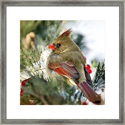 Female Northern Cardinal Square Framed Print by Christina Rollo