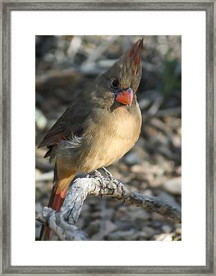 Female Northern Cardinal Framed Print by Stacy Fortson