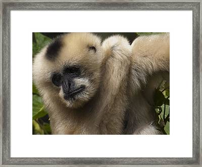 Female Northern White Cheeked Gibbon Framed Print by Star Ship