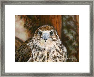 Female Of Saker Falcon Framed Print by Anna Franceova
