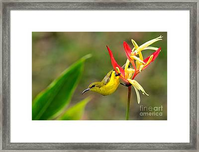 Female Olive Backed Sunbird Clings To Heliconia Plant Flower Singapore Framed Print