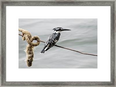 Female Pied Kingfisher Framed Print by Nigel Downer