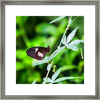 Female Pink Cattleheart Butterfly Framed Print