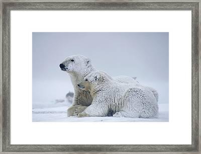 Female Polar Bear Resting With Her Two Framed Print by Steven Kazlowski
