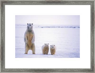 Female Polar Bear Standing With Her Two Framed Print by Steven Kazlowski