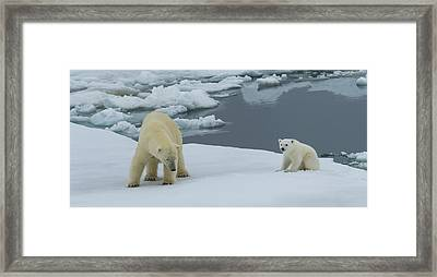 Female Polar Bear Ursus Maritimus Framed Print by Panoramic Images