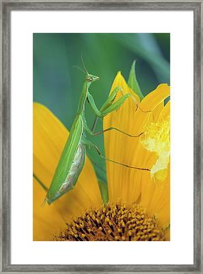 Female Praying Mantis With Egg Sac Framed Print
