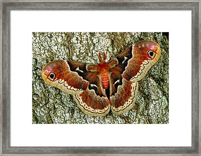 Female Promethea Moth Framed Print