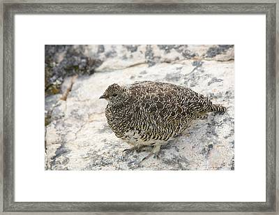 Female Ptarmigan On The Greenland Tundra Framed Print by Ashley Cooper