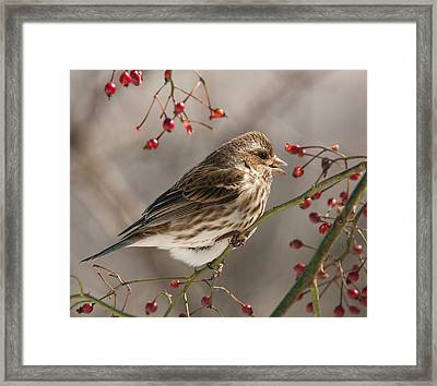 Framed Print featuring the photograph Female Purple Finch On Berries by Lara Ellis