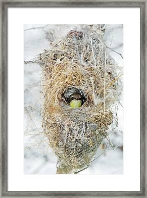 Female Purple Sunbird Framed Print