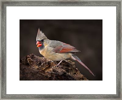 Framed Print featuring the photograph Female Red Cardinal by Steve Zimic