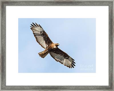Female Red-tailed Hawk Framed Print by Carl Jackson