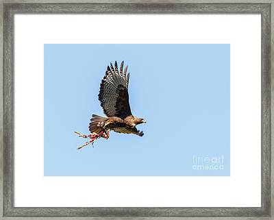 Female Red-tailed Hawk In Flight Framed Print by Carl Jackson