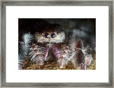 Female Regal Jumping Spider Framed Print by Alex Hyde