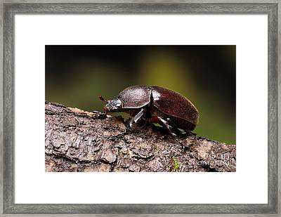 Female Rhinoceros Beetle Framed Print by Frank Teigler