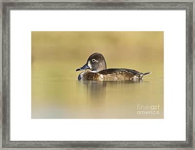 Female Ring Necked Duck Framed Print by Bryan Keil