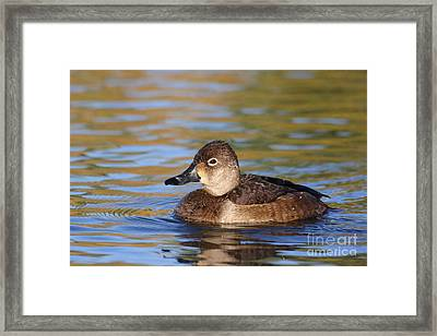 Framed Print featuring the photograph Female Ringneck by Ruth Jolly
