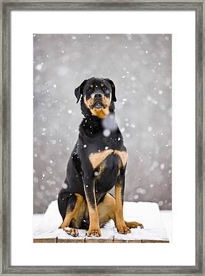 Female Rottweiler Sitting On Top Of A Framed Print