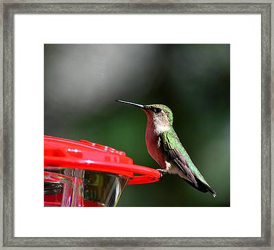 Female Ruby Throat At Feeder Framed Print