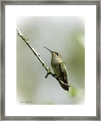 Female Ruby-throated Hummingbird 1 Framed Print by Kathy Ponce