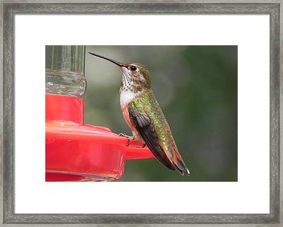 Female Rufous Hummingbird Framed Print