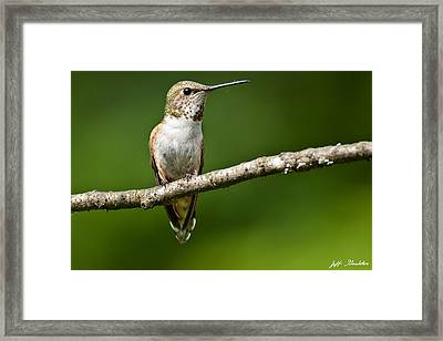 Framed Print featuring the photograph Female Rufous Hummingbird In A Tree by Jeff Goulden