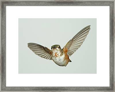 Female Rufous Hummingbird With Sequins Framed Print by Gregory Scott