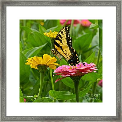 Female Tiger Swallowtail Butterfly With Pink And Yellow Zinnias Framed Print