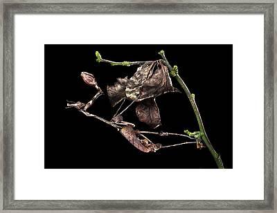 Female Violin Mantis Framed Print
