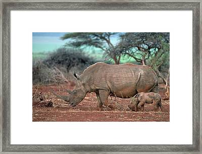 Female White Rhino With Calf Framed Print by Tony Camacho