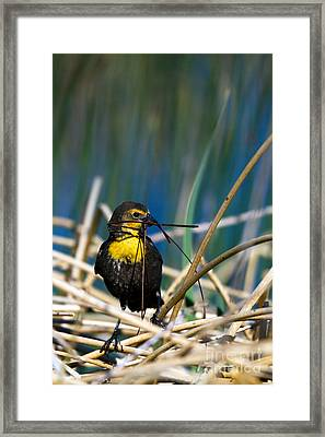Blackbird Builds A Nest Framed Print