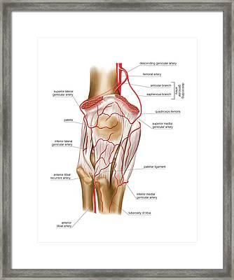 Femoral Artery Framed Print