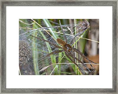 Fen Raft Spider And Young Framed Print