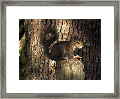 Framed Print featuring the photograph Fence Post Squirrel  by Chris Mercer