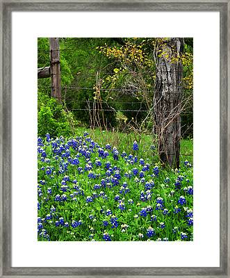 Fenced In Bluebonnets Framed Print by David and Carol Kelly