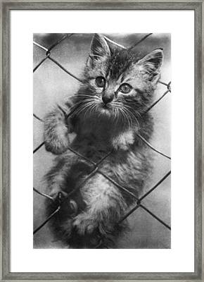 Fenced In Kitten Framed Print by Underwood Archives